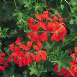 Geranium Lierre Simple Rouge