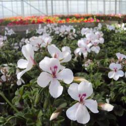 Geranium Lierre Rainbow Blanc