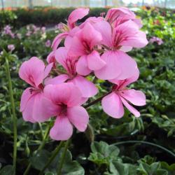 Geranium Lierre Rainbow Rose