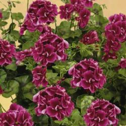 Geranium Lierre Toscana Pia