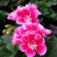 Geranium Zonal Spanish Wine Rose