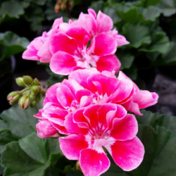 Geranium Zonal Spanish Wine Rose