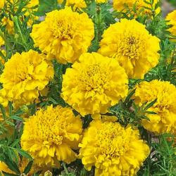 Oeillet Dinde Nana Aton Yellow