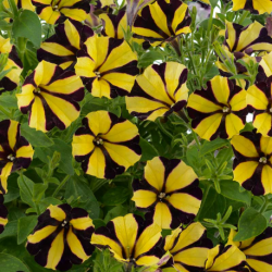 Petunia Hybrida Ray Sunflower Black Yellow Stripes