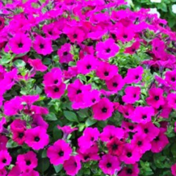 Petunia Retombant Surfinia Purple