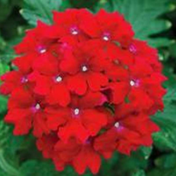 Verveine Hybrida Lanai Early Deep Red