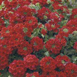Verveine Hybrida Lanai Magelana Deep Red