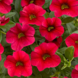 Calibrachoa Noa Red Improved