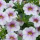 Calibrachoa Noa Almond Blossom