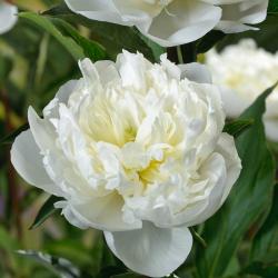 Pivoine Lactiflora Duchesse De Nemours