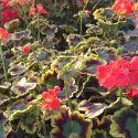 Geranium Zonal Panaché Mrs Pollock rouge