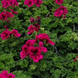 Pelargonium Candy Flower Mauve