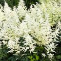 Astilbe Hybrida White