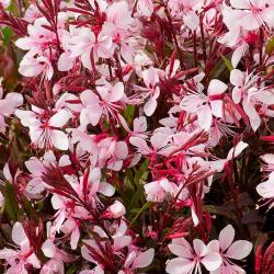 Gaura Lindheimeri Butterfly Rose White