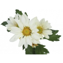 Chrysanthème Chrydance Rockn Roll Blanc