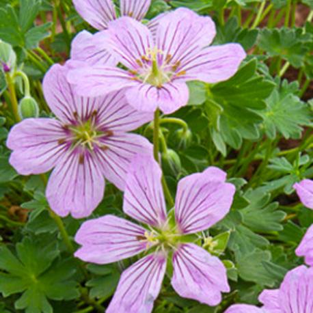 Geranium Vivace Alice
