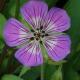 Geranium Vivace Sweet Heidy