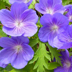 Geranium Vivace Walli Blue Sunrise