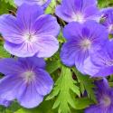 Geranium Vivace Walli Blue Sunrise