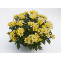 Chrysanthème Chrydance Rockn Roll Jaune