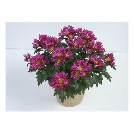 Chrysanthème Chrydance Rockn Roll Mauve