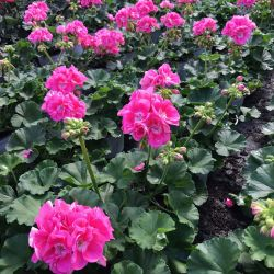 Geranium Droit Pinnacle Celine rose