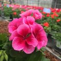 Geranium Zonal Americana Rose Mega Splash