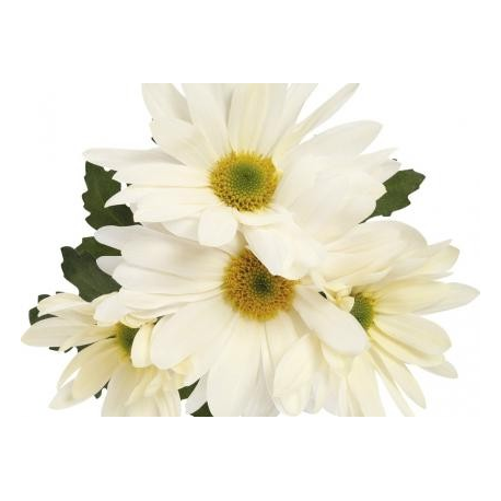 Chrysanthème Chrydance Ska Blanc
