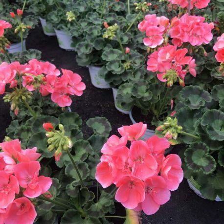 Geranium Droit Gabella Rose