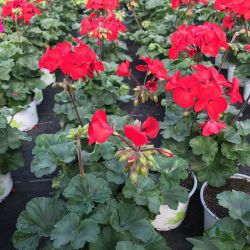Geranium Droit Sarita Dark Red