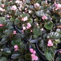 Begonia Doublet Pink Bronze Leaf