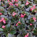 Begonia Doublet Red Bronze Leaf