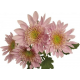 Chrysanthème Chrydance Tecktonic Rose