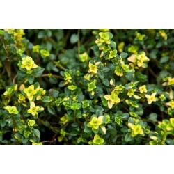 Thymus Citriodorus Limone
