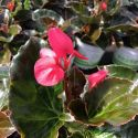 Begonia Big Rose Bronze Leaf