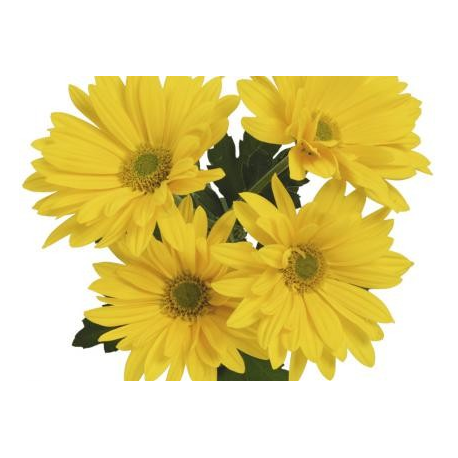 Chrysanthème Chrydance Twist Jaune