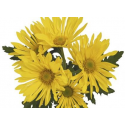 Chrysanthème Chrydance Valse Jaune