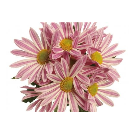 Chrysanthème Chrydance Zumba Rose