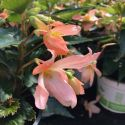 Begonia Summerwings Apricot Improved