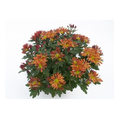 Chrysanthème Chrydance Zumba Rouge Or