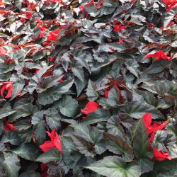 Begonia Summerwings Dark Elegance rouge