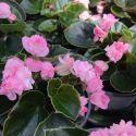 Begonia Doublet Pink Green Leaf