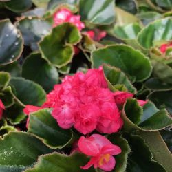 Begonia Doublet Red Green Leaf