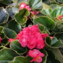 Begonia Doublet Red Green Leaf