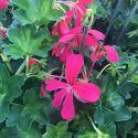 Geranium Lierre Simple Rose Foncé