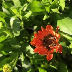 Osteospermum Ecklonis Astra Orange Sunrise