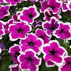Petunia Hybrida Sanguna Purple Picotee