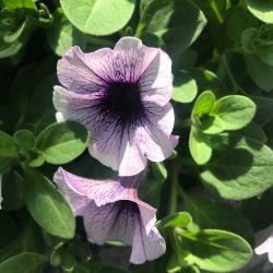 Surfinia Cascade Sweetunia Purple Spotlight