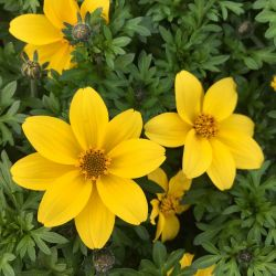 Bidens Ferulifolia Yellow Charm