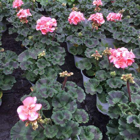 Geranium Zonal Toscana Soren